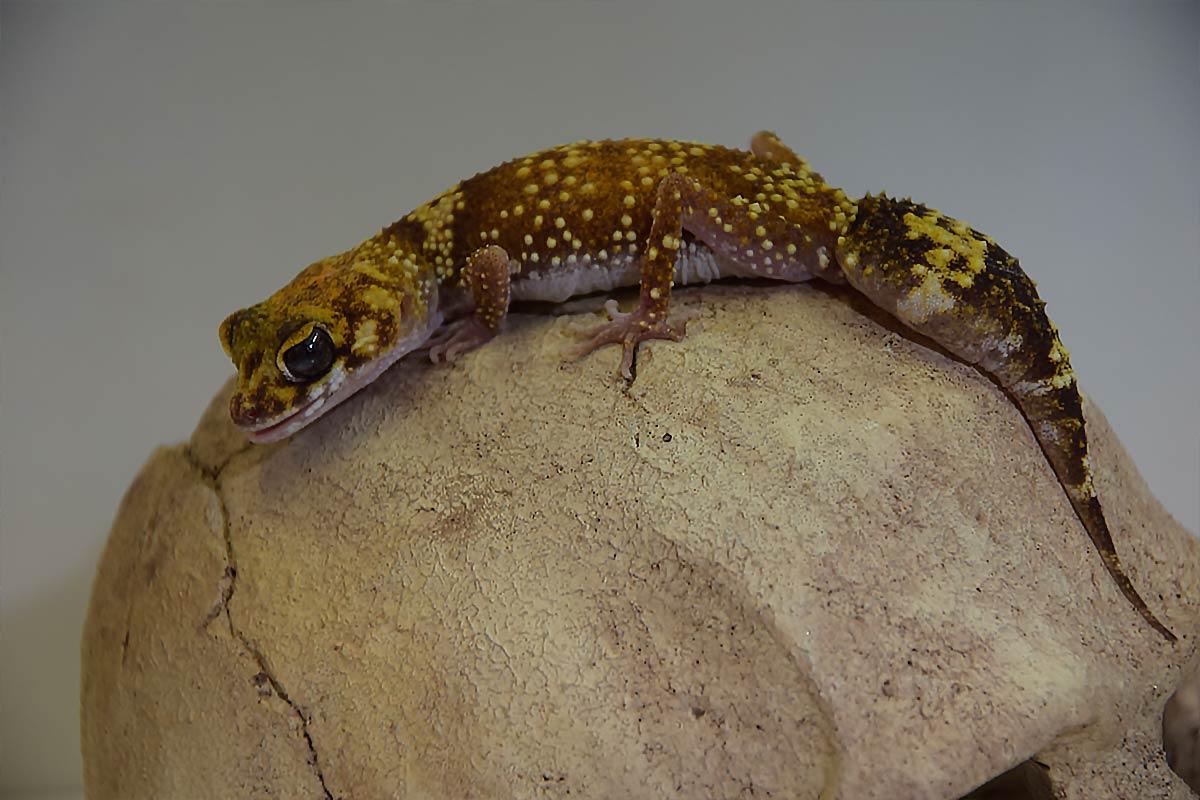 Australischer Dickschwanzgecko-im ATP-Terraristik