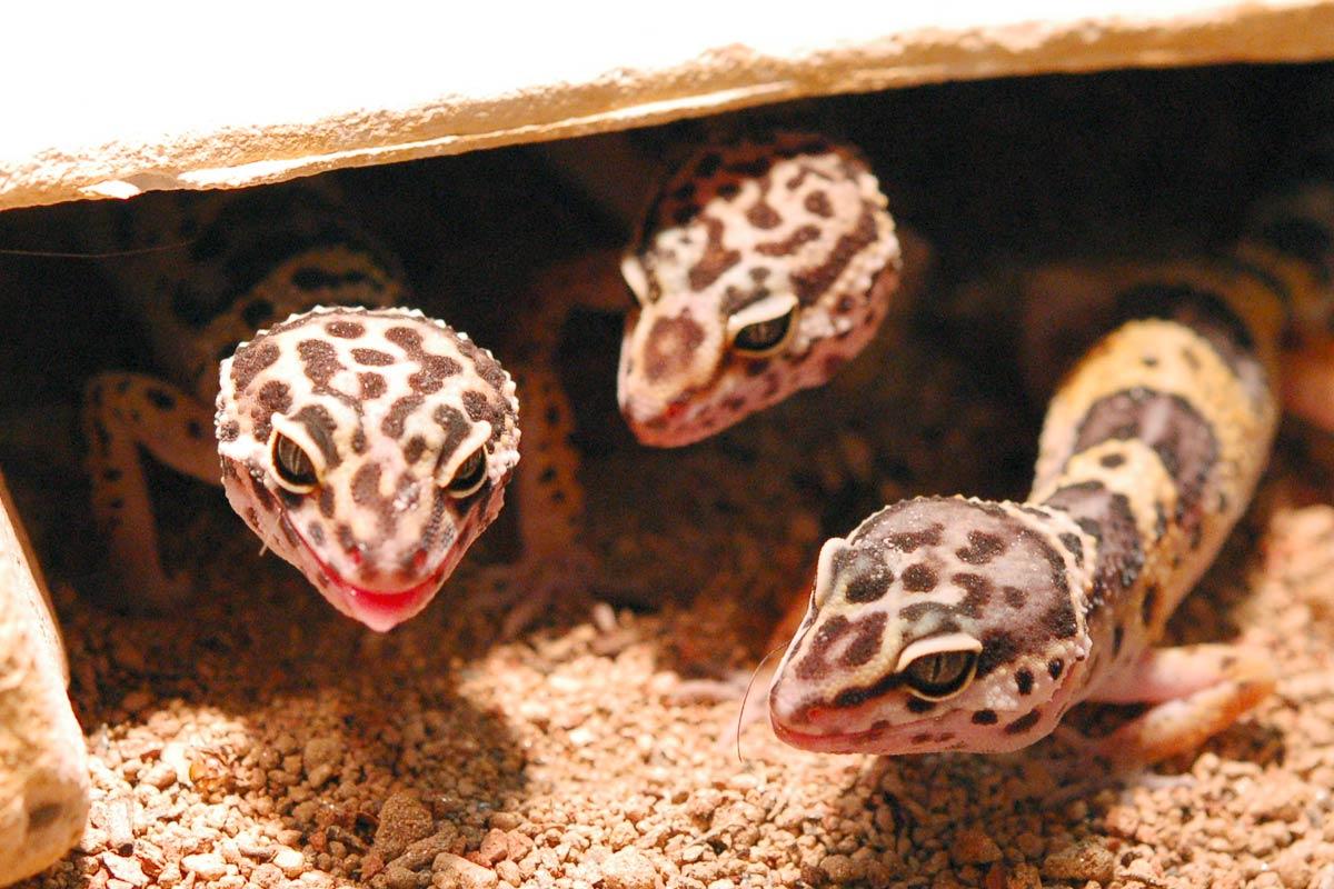 Leopardgecko-im ATP-Terraristik