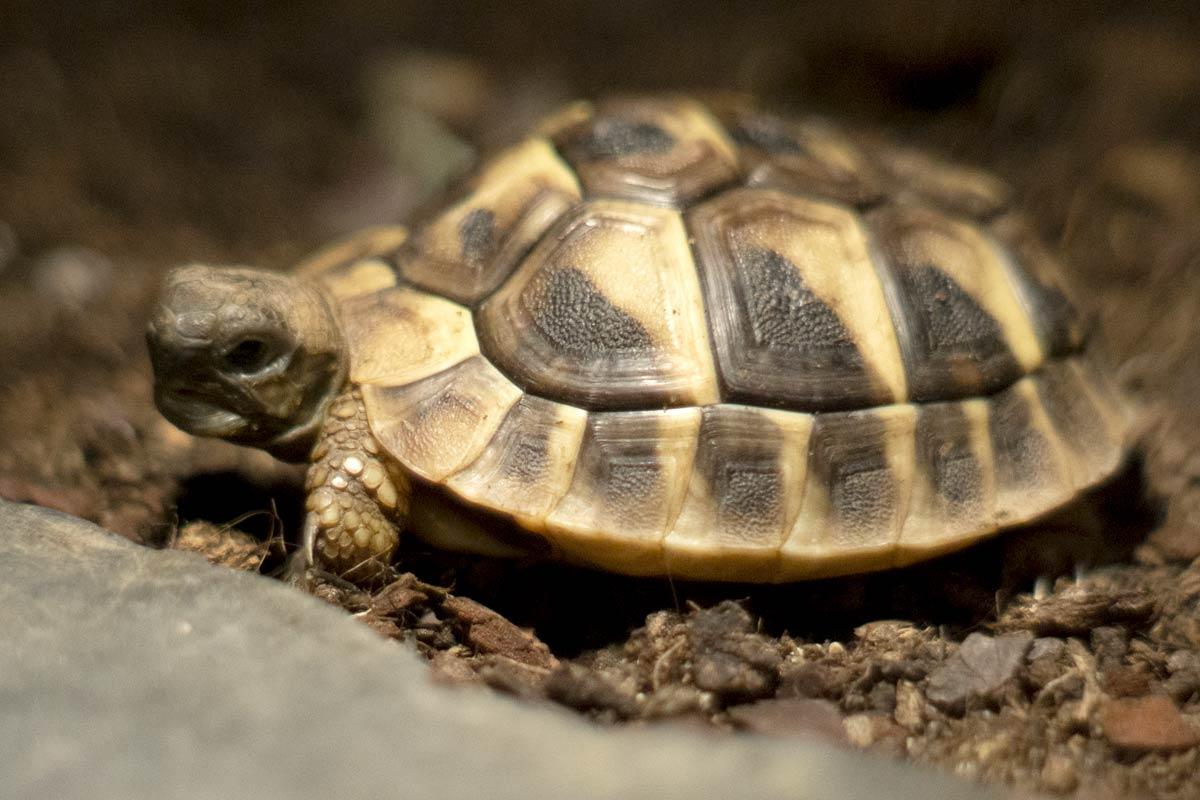 Griechische Landschildkröten Nachwuchs - im ATP-Terraristik