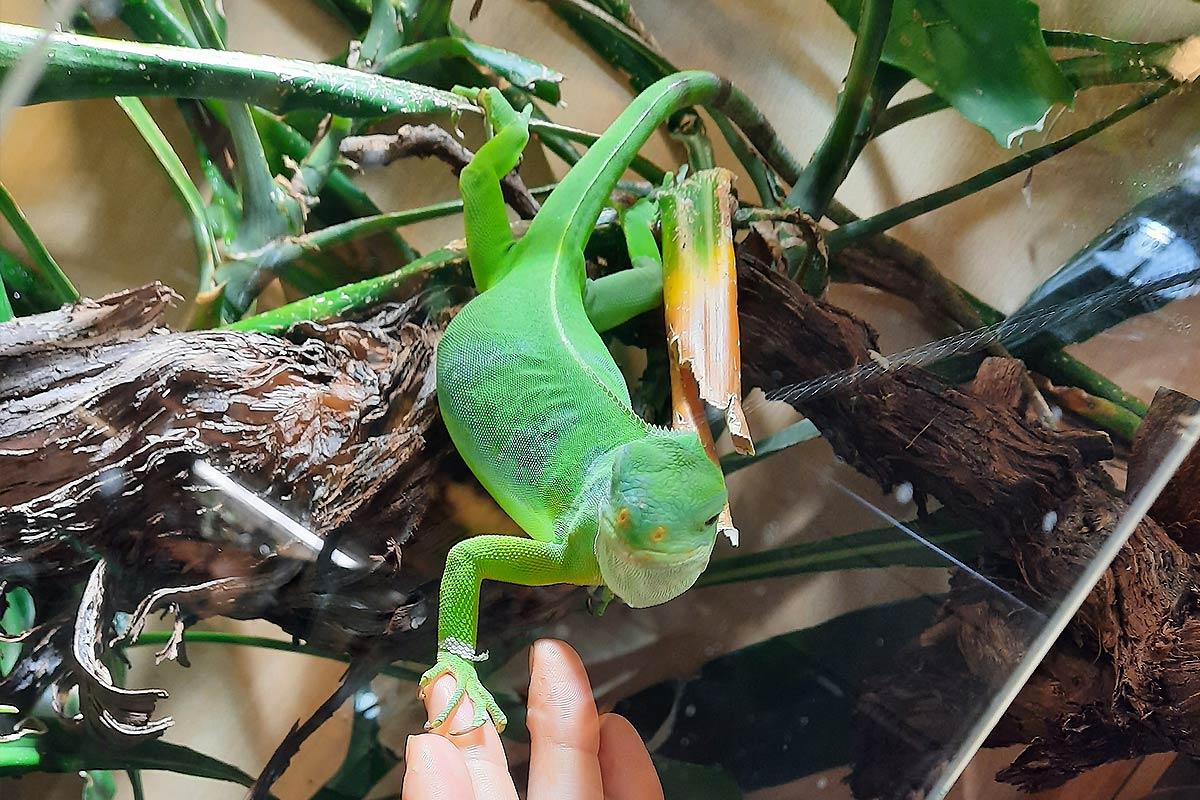 Fidschi Leguan-im ATP-Terraristik