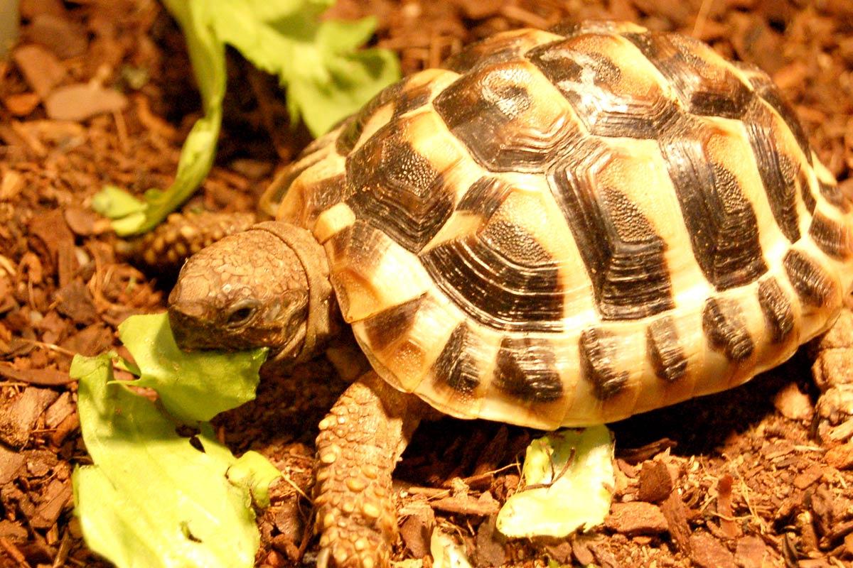 Griechische Landschildkröte - Im ATP-Terraristik